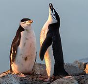 Pair of Chinstrap Penguins (Pygoscelis antarctica) at Useful Island, Antarctica