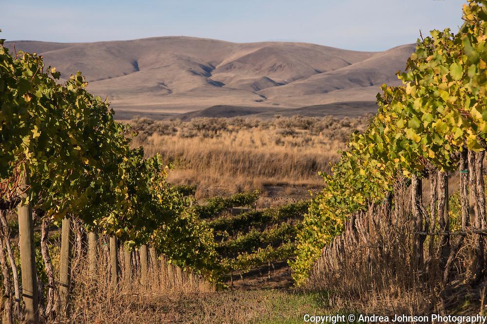 Dubrul Vineyard, Yakima, Washington