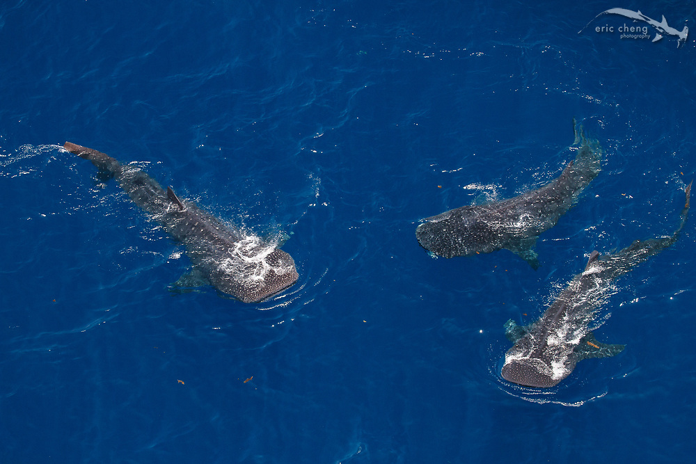 Whale shark aggregation off of Islas Mujeres, Mexico