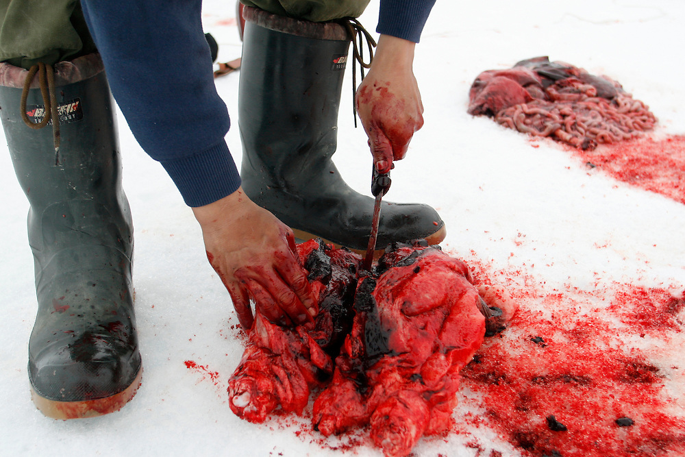 Mark Ammarualik skin and cut a Seal in Resolute Bay Tuesday June 12 2007..Mark is an Inuit hunter that hunt seals for food, every part of the seals is used or for food or for worm cloth...