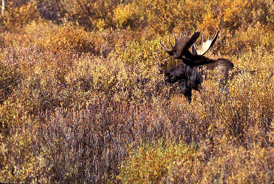 Moose, (Alces alces) Bull. Grand Teton National  Park. Fall. Wyoming.
