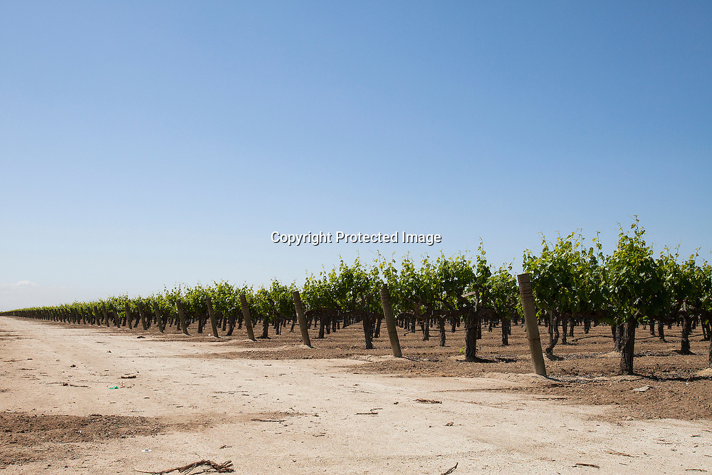 Vineyard located near the Woollems lake near Delano<br /> By 2014 the Central Valley was producing 92% of wine grapes in America.