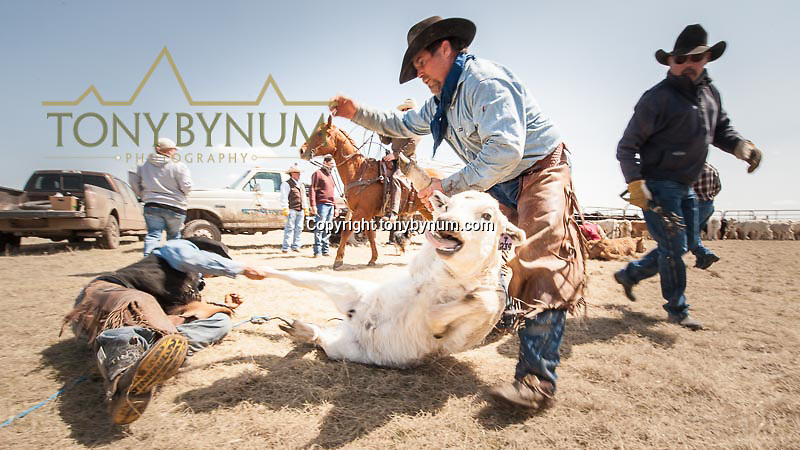 cowboys wrestling a white calf to the ground during a branding