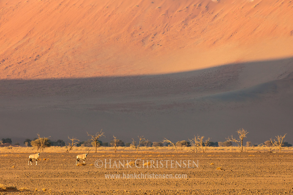 Gemsbok oryx cross flat ground in front of a wall of sand - the lower slopes of a massive sand dune, Namib-Naukluft National Park, Namibia.