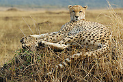Cheetah sitting on a termite mond stares at camera.