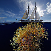 Common Sargasso Weed or Common Gulfweed (Sargassum natans) Sargassum Community. and in the background Corwith Cramer. Corwith Cramer is a 134-foot steel brigantine built as a research vessel for operation under sail. Sargasso Sea, Bermuda | Der Forschungssegler Corwith Cramer durchquert im April 2014 die Sargasso See von Puerto Rico kommend bis zu den Bermuda Inseln.