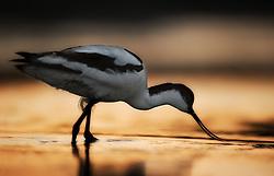 Avocet (Recurvirostra avosetta) feeding after sunset, Netherland