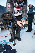 För att skydda fötterna på hundarna används särskilda strumpor när de springer. Här får hunden Eggs på sig sina strumpor inför den ceremoniella starten av 2017 Iditarod, Anchorage, Alaska, USA