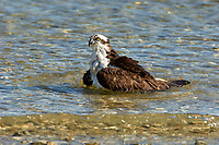Osprey, (Pandion haliaetus), bathing along edge of beach, taken from Causeway between Fort Myers and Sanibel Island, Florida, USA   Photo: Peter Llewellyn