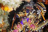 Spiny lobster-Langouste du Cap (Jasus lalandii), indian ocean, South Africa.