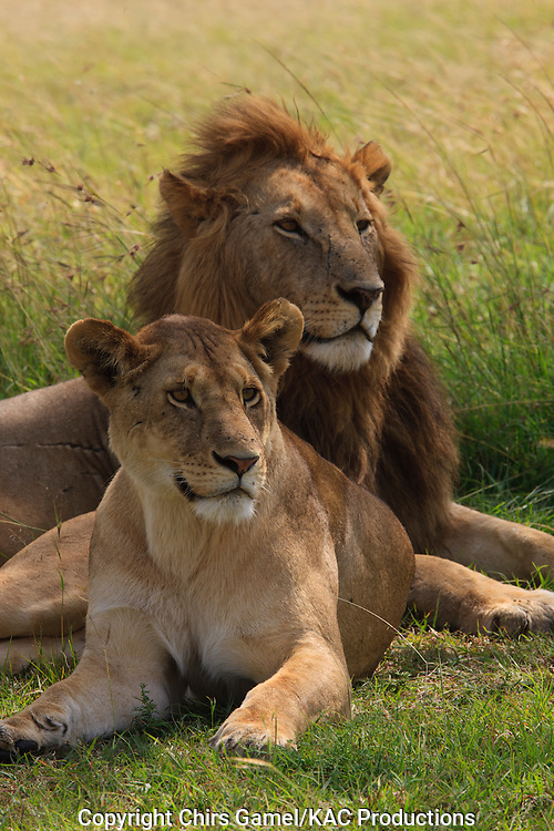 Male and female lions sitting in the grass, Serengeti National Park, Tanzania.