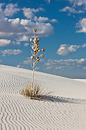 Soaptree Yucca plant (Yucca elata) and sand patterns - White Sands National Monument, New Mexico