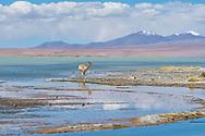 South America, Andes, Altiplano, Bolivia,Termas de Polques, Vicuna