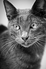 Silver - Gray DSH cat