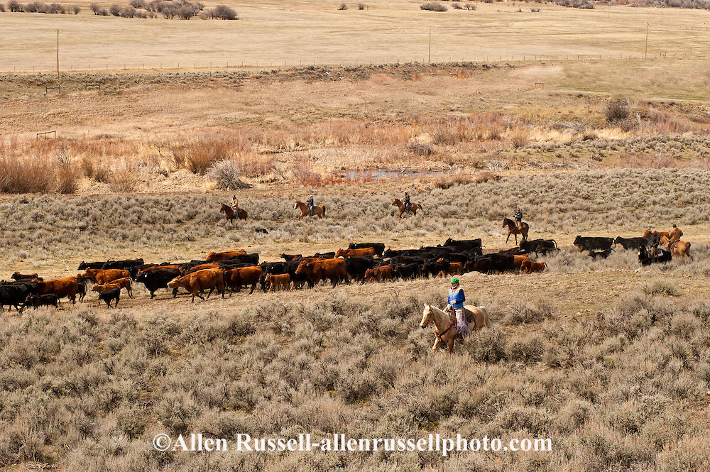 Cowboys, cowgirls, gather cows and calves for branding, Wilsall, Montana, Shields Valley.