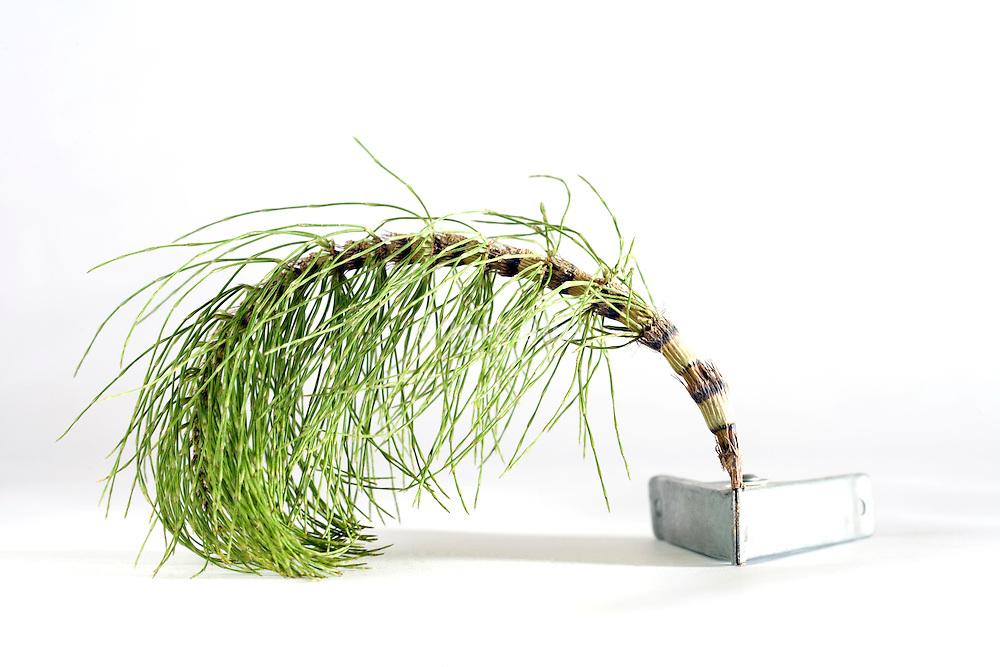 dying bamboo like weed