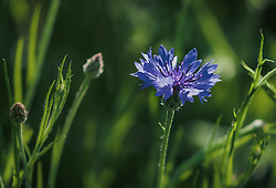 THEMENBILD - eine blaue Kornblume (Cyanus segetum Hill, Syn.: Centaurea cyanus L.), auch Zyane genannt, am Feldrand, aufgenommen am 06. Juni 2019 in Uderns Oesterreich // a blue cornflower (Cyanus segetum Hill, Syn.: Centaurea cyanus L.), also known as cyanus, at the edge of the field, in Uderns, Austria on 2019/06/06. EXPA Pictures © 2019, PhotoCredit: EXPA/Stefanie Oberhauser