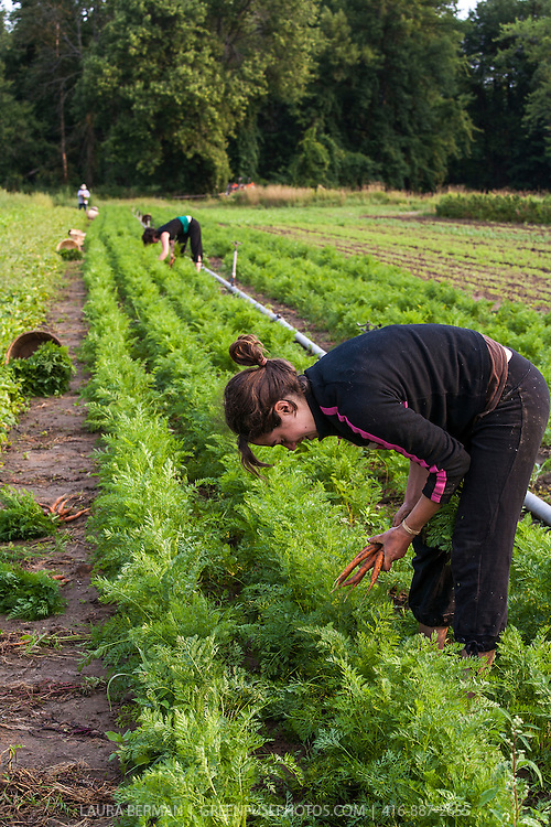 Farm workers harvesting carrots at Thorpe's Organic farms in Ontario, Canada