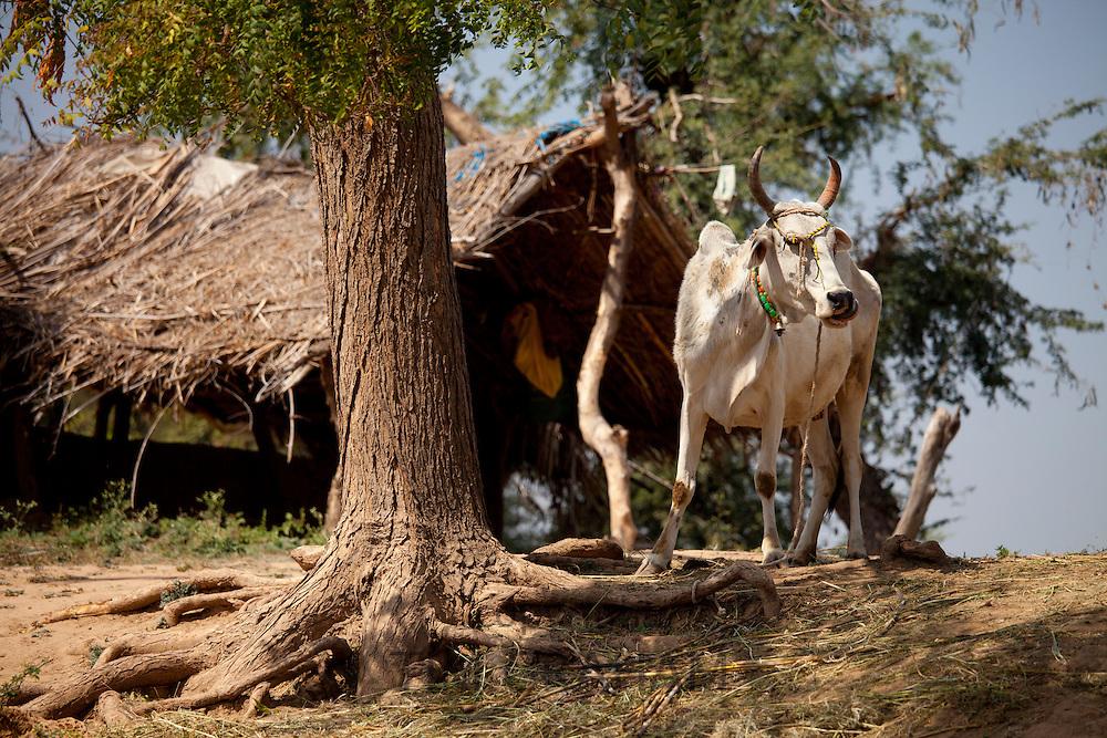 Indian cow tethered for milk at farm smallholding at Kutalpura Village in Rajasthan, Northern India
