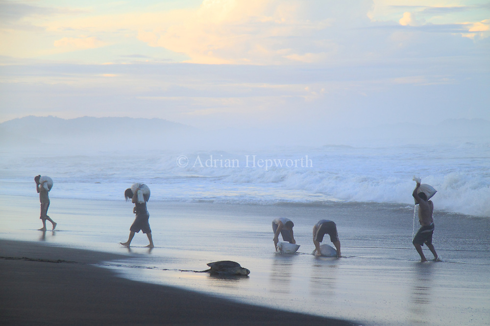 Villagers carry Olive Ridley Turtle (Lepidochelys olivacea) eggs to wash in the ocean during the first phase of an arribada in Ostional, Guanacaste, Costa Rica. This egg-collecting is legal for a designated period.<br />