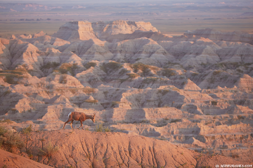 A camouflaged big horn sheep ewe walks along a ridge at sunset in Badlands National Park, South Dakota.