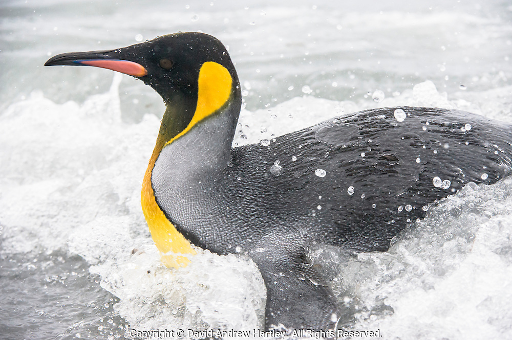 A King Penguin (Aptenodytes patagonicus) coming ashore, Salisbury Plain, South Georgia Island, South Atlantic Ocean