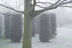 Group of yew pillars on a foggy, frosty morning in John Massey's garden - Taxus baccata