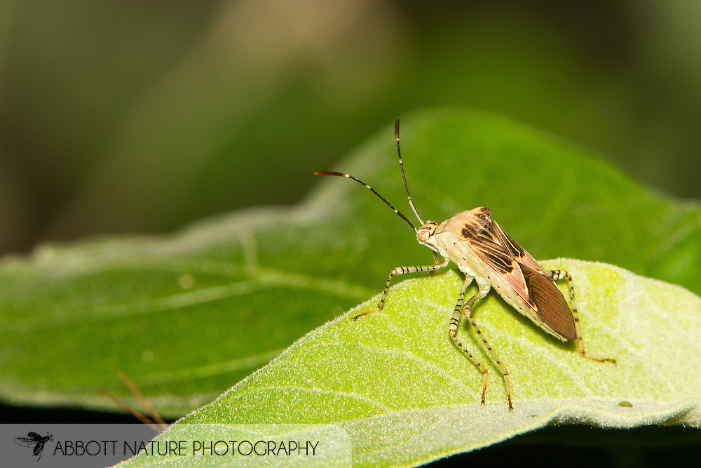 Spot-sided Coreid (Hypselonotus punctiventris)<br /> TEXAS: Hidalgo Co.<br /> NABA National Butterfly Center<br /> 8-Nov-2014<br /> J.C. Abbott &amp; K.K. Abbott