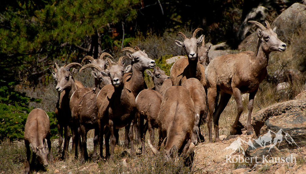 "The ""Bighorn Board Meeting"" is about to convene!"