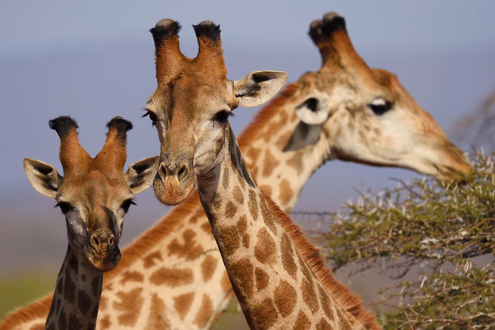 Southern Giraffe (Giraffa giraffa), Zimanga Private Nature Reserve, KwaZulu Natal, South Africa