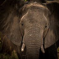 Tarangire Elephant