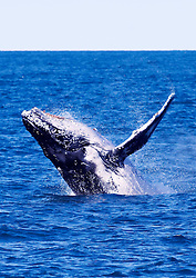 A humpback whale breaches off Barred Creek on the Kimberley coast.  Western Australia's Kimberley region is home to the world's largest population of Humpback whales, now thougtht to number between 22,000 and 30,000 individuals.