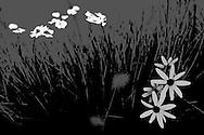 flowers daisy reeds nature