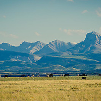 rocky mountain front montana, cattle graze along the rocky mountain front montana conservation photography - montana wild prairie
