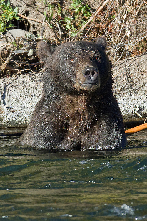 An 8-year-old male grizzly gets some much needed relief from the summer heat in the shallows of the Yellowstone River.
