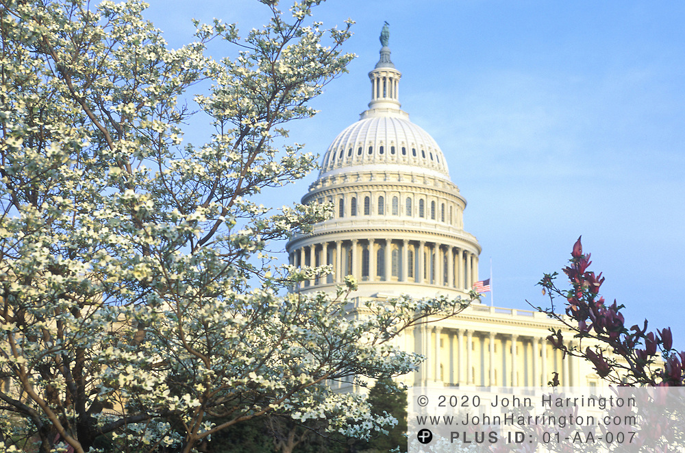 The US Capitol framed by trees in bloom.
