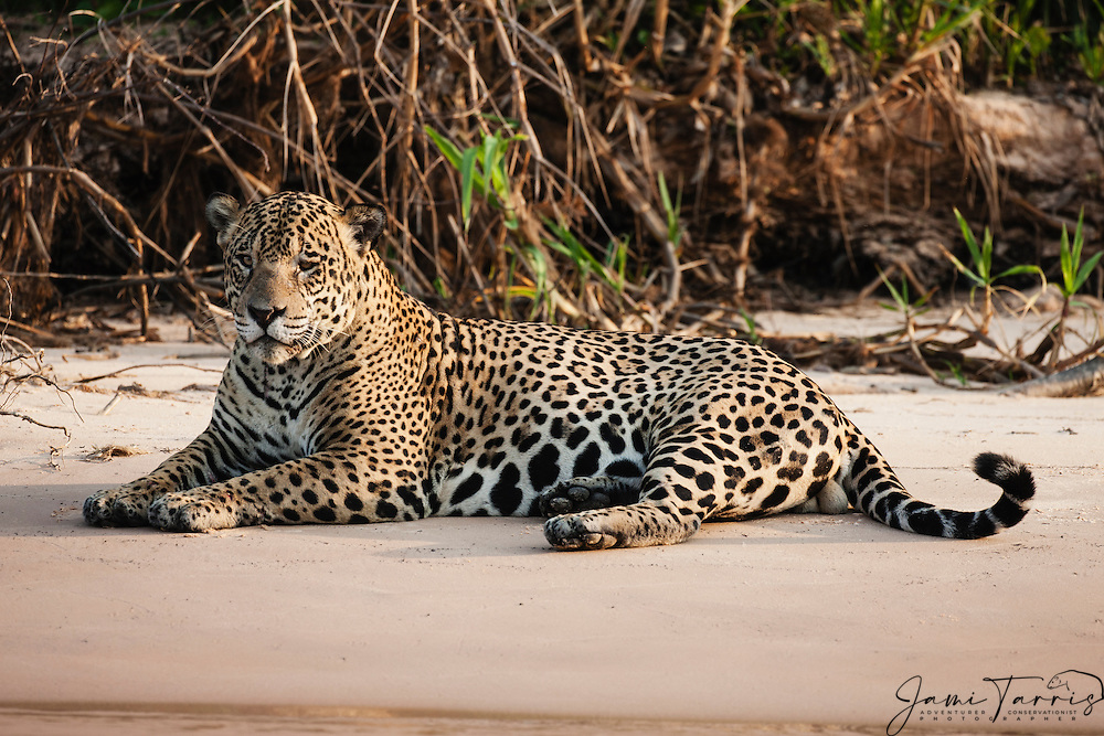 A Wild Jaguar In The Pantanal Laying On A Sand Beach Along