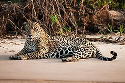 A wild jaguar (Panthera onca) relaxing on a sandy river bank, Pantanal, Brasil, South America