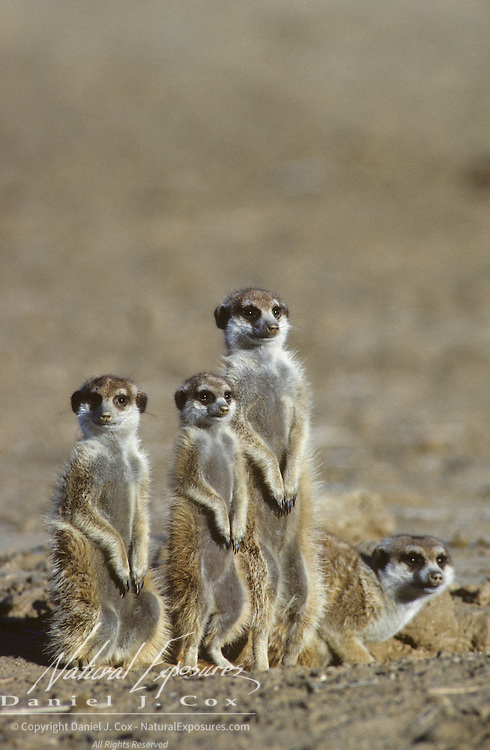 Suricate family sitting near a den during early morning in the Kalahari Desert, Africa.