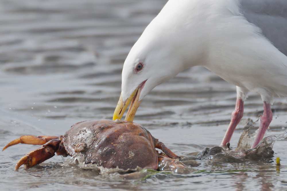 A seagull devours a dungeness crab at Golden Gardens, Seattle, Washington.