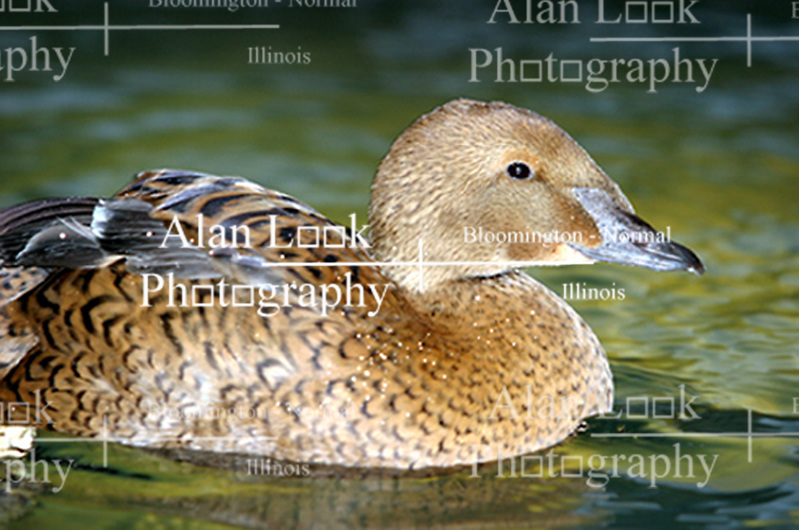 Female King Eider (Photo by Alan Look)