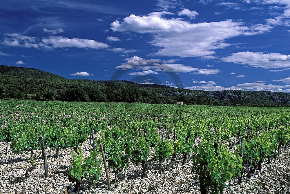 19/05/02 - PLATEAU ARDECHOIS - ARDECHE - FRANCE - Vigne de SYRAH sur le Plateau Ardechois - Photo Jerome CHABANNE