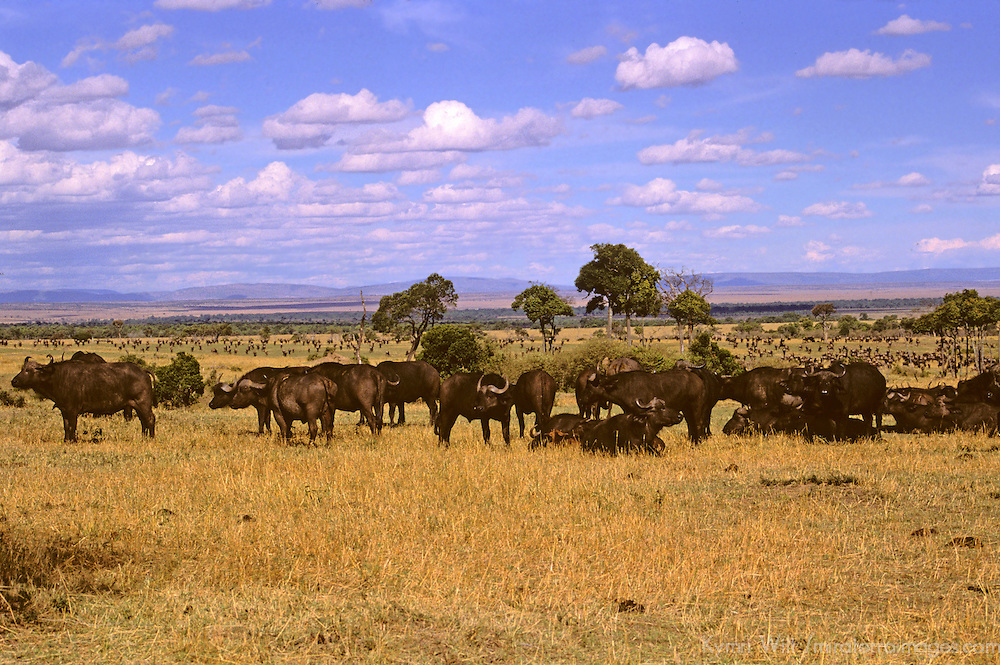 Africa, Kenya, Maasai Mara. Water Buffalo in the landscape of the Mara.