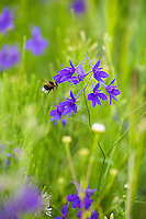 Field Larkspur and Bumble Bee, Consolida regalis, Delphinium consolida, Eastern Slovakia, Europe, Feld-Rittersporn mit Hummel, Consolida regalis, Delphinium consolida, Slowakei, Europa