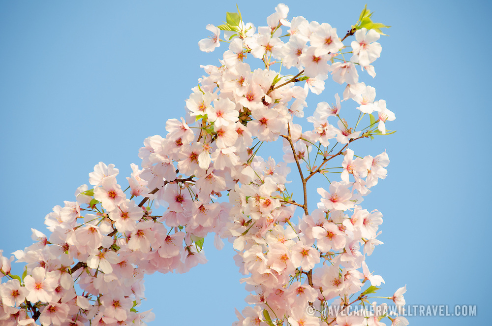 A close-up of some of the flowers of Washington's famous cherry blossoms in bloom.