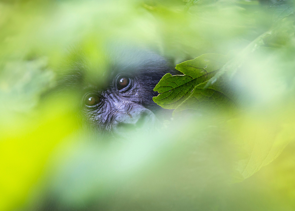 A mountain gorilla behind a screen of leaves, Volcanoes National Park, Rwanda.