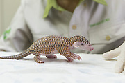 Chinese pangolin <br /> Manis pentadactyla<br /> Twelve-day-old orphaned baby (named Gung-wu) walking on table of researcher. Gung-wu is the offspring of parents rescued from poachers. <br /> Taipei Zoo, Taipei, Taiwan