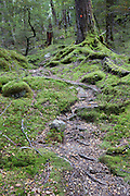 Mossy ground and dense beech forest on the Sugarloaf Track in Mount Aspiring National Park, New Zealand.