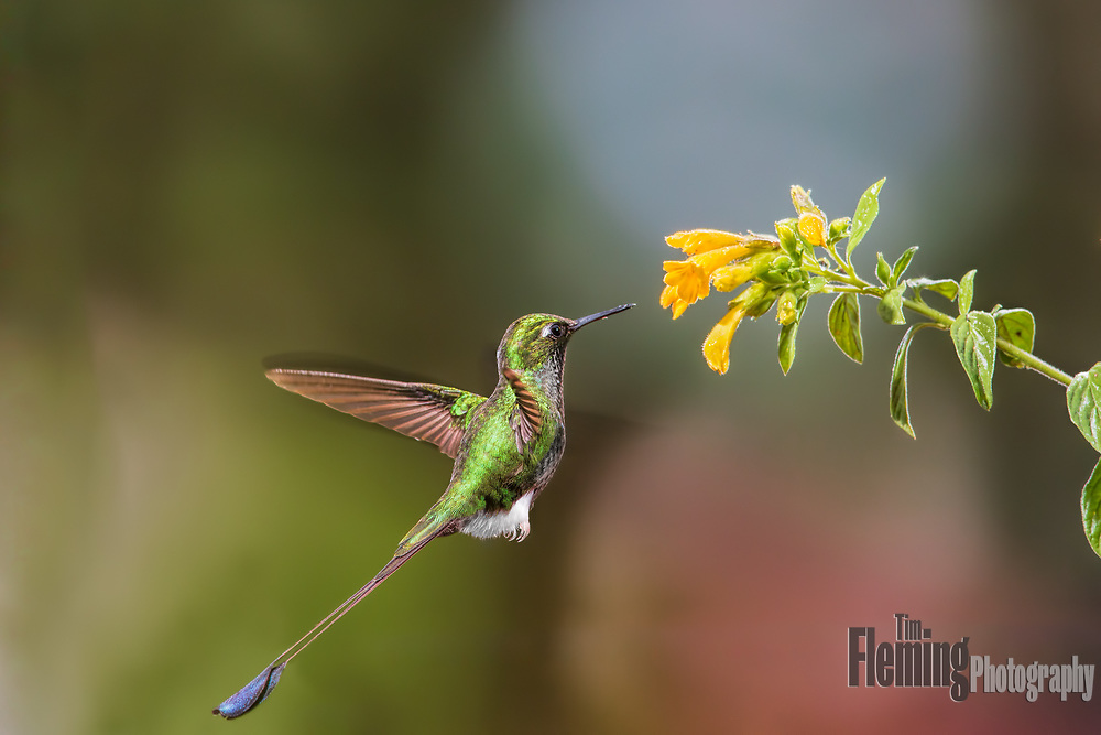 A male booted racket-tail (Ocreatus underwoodii) gathering nectar from a flower in Ecuador's Tandayapa Valley.