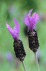 Lavandula stoechas - Frech lavender